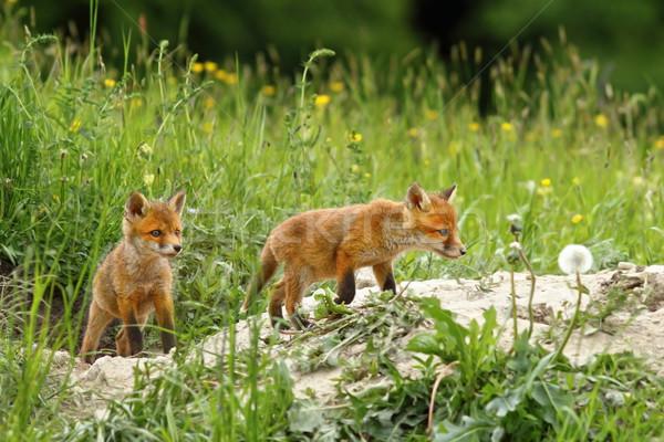 fox cubs near the burrow Stock photo © taviphoto