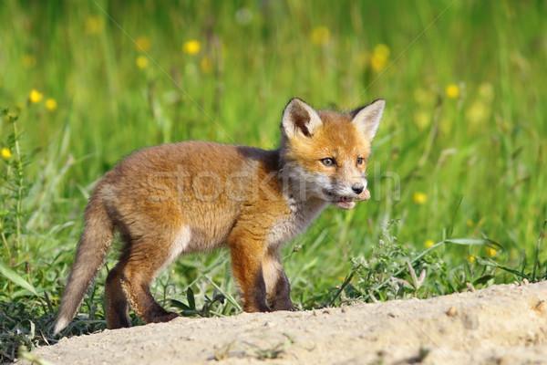Wenig rot Fuchs stehen Bild Stock foto © taviphoto