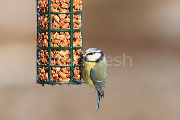 blue tit on bird feeder full of peanuts Stock photo © taviphoto