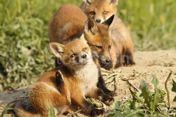 family of foxes near the den Stock photo © taviphoto