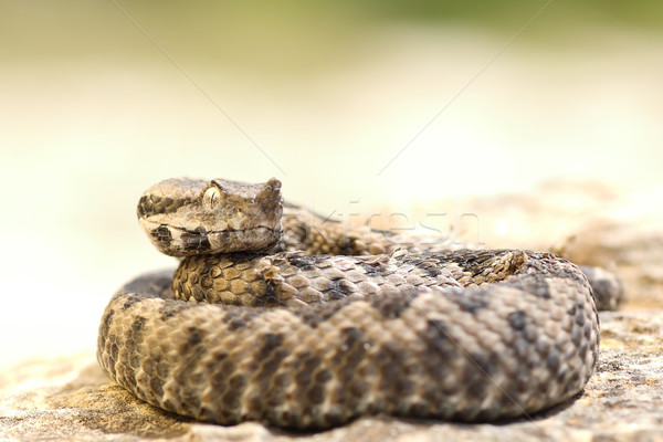 aggressive nose horned viper ready to strike Stock photo © taviphoto