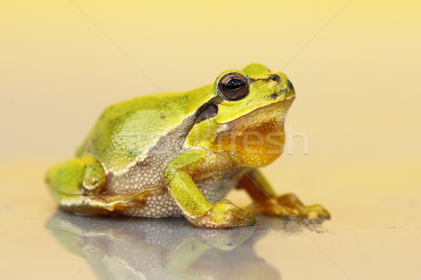 cute small green frog  Stock photo © taviphoto