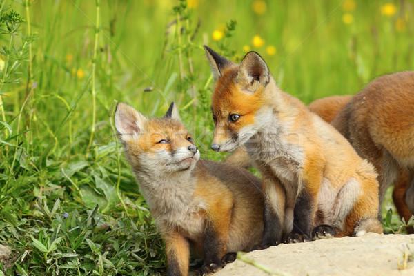 キツネ 自然 生息地 ヨーロッパの 赤 野生動物 ストックフォト © taviphoto