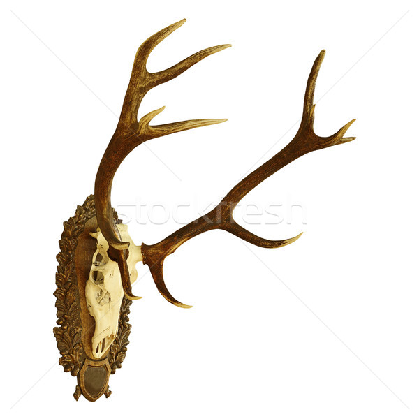 large isolated  red deer hunting trophy Stock photo © taviphoto