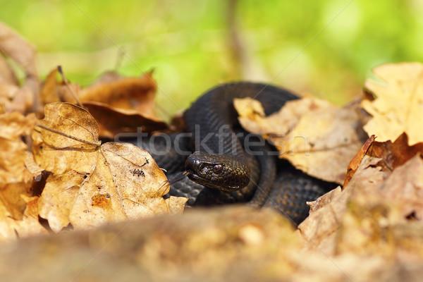 nikolskii black viper hiding amongst leaves Stock photo © taviphoto