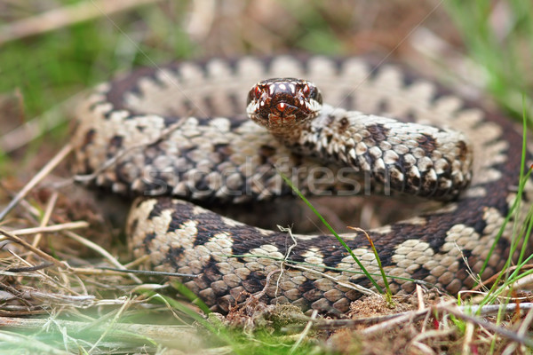 Stock photo: colorful male crossed adder