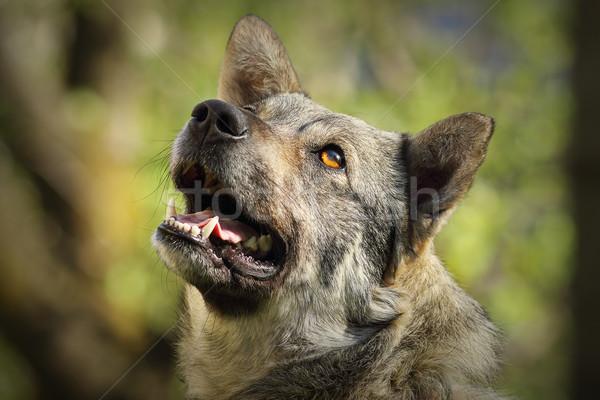 Aranyos kíváncsi kutya portré ki fókusz Stock fotó © taviphoto