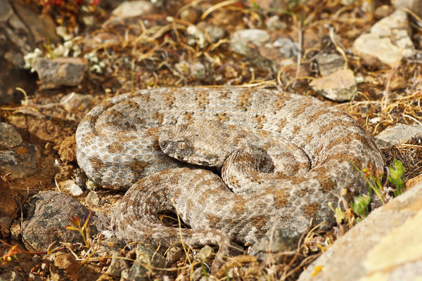 blunt nosed viper from Milos Stock photo © taviphoto
