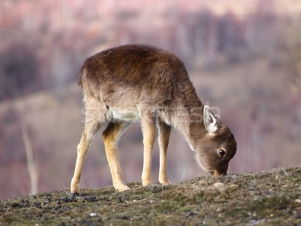 fallow deer calf grazing Stock photo © taviphoto