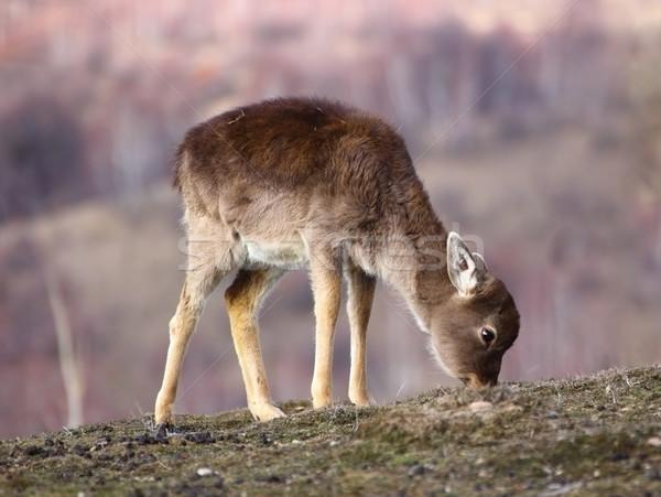 鹿 フィールド 冬 草 食品 自然 ストックフォト © taviphoto
