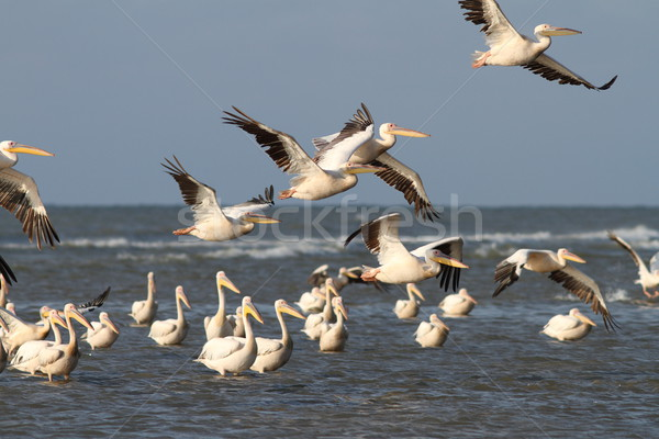 flock of pelicans flying over water Stock photo © taviphoto