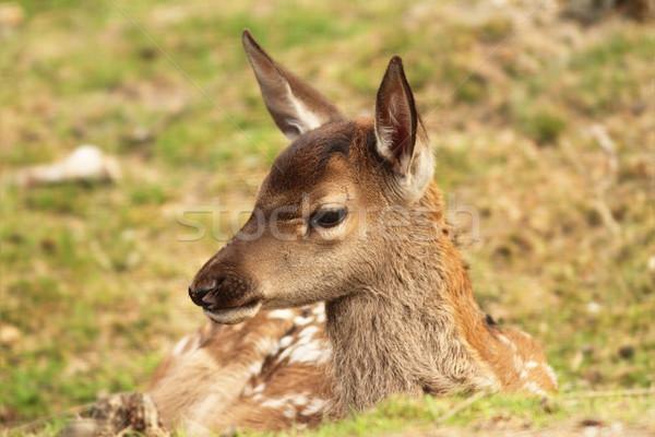 red deer calf, cervus elaphus Stock photo © taviphoto