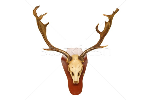old fallow deer stag hunting trophy Stock photo © taviphoto