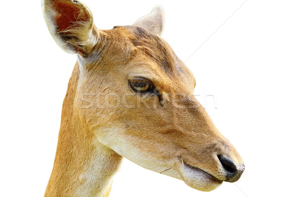 Stock photo: portrait of fallow deer hind over white
