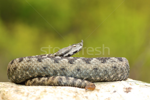 Stock photo: large male nose horned adder