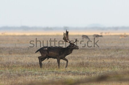 male fallow deer walking on meadow Stock photo © taviphoto