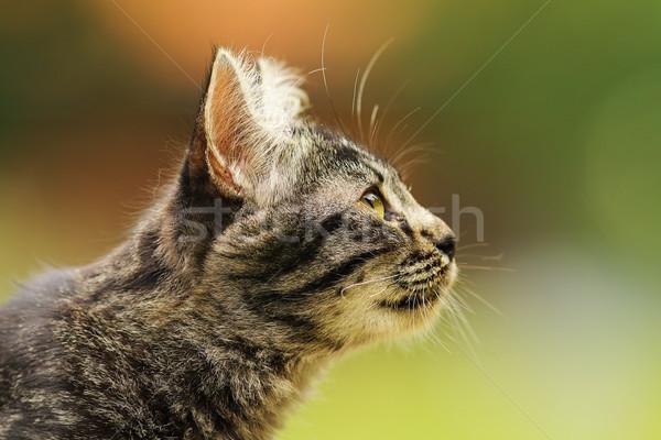 Cute pasiasty ciekawy kot portret kotek Zdjęcia stock © taviphoto