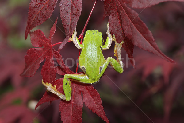 green tree frog climbing on leaves Stock photo © taviphoto