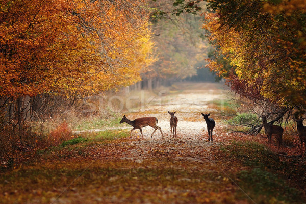 fallow deers in colorful autumn forest Stock photo © taviphoto