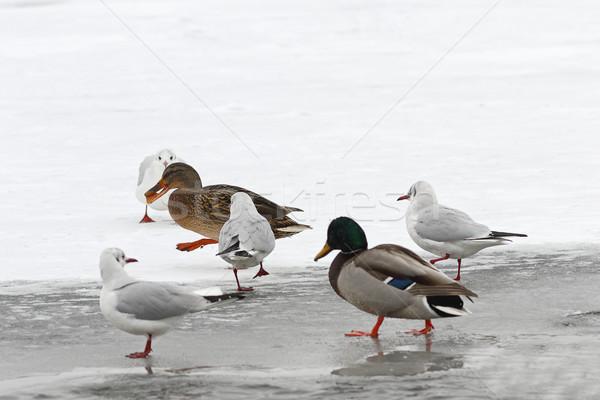 Faminto aves inverno comida caminhada Foto stock © taviphoto