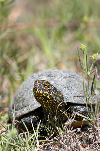 european pond terrapin in natural habitat Stock photo © taviphoto