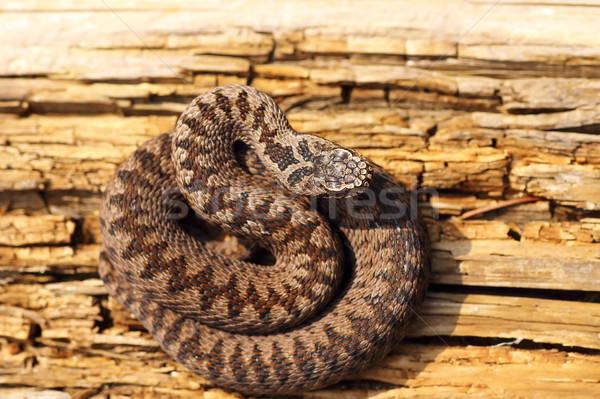 juvenile colorful european crossed viper basking in the sun Stock photo © taviphoto