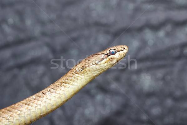 Portret węża szary gad gotowy zmian Zdjęcia stock © taviphoto