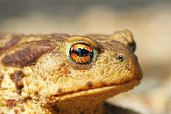 Portré csúnya barna varangy szem természet Stock fotó © taviphoto