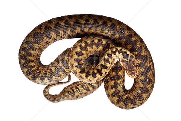 isolated beautiful common adder Stock photo © taviphoto