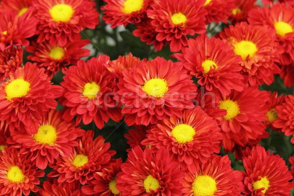 Kırmızı krizantem buket güzel sarı çiçek Stok fotoğraf © taviphoto