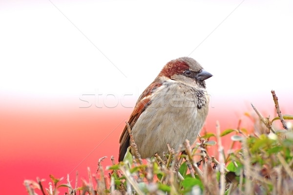 Jeugdig mus permanente achtergrond vogel kleur Stockfoto © taviphoto