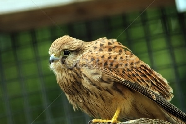 closeup of a falco tinnunculus Stock photo © taviphoto
