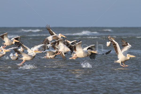 flock of great pelicans  taking flight Stock photo © taviphoto