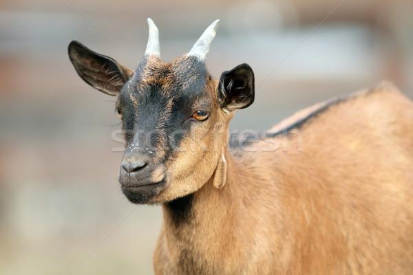 brown goat ram Stock photo © taviphoto