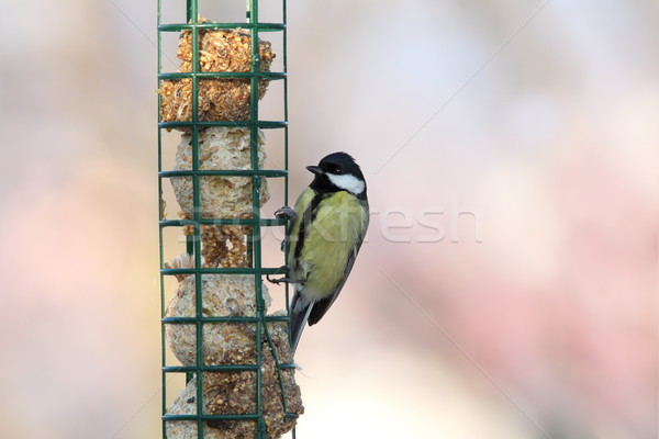great tit on hung feeder Stock photo © taviphoto