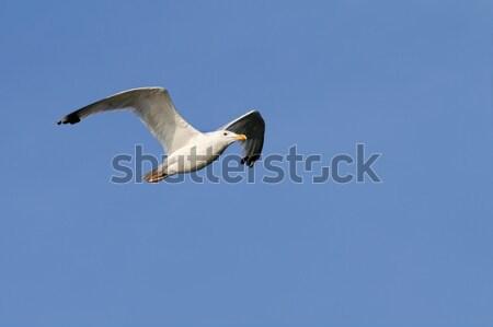 herring gull over blue sky Stock photo © taviphoto