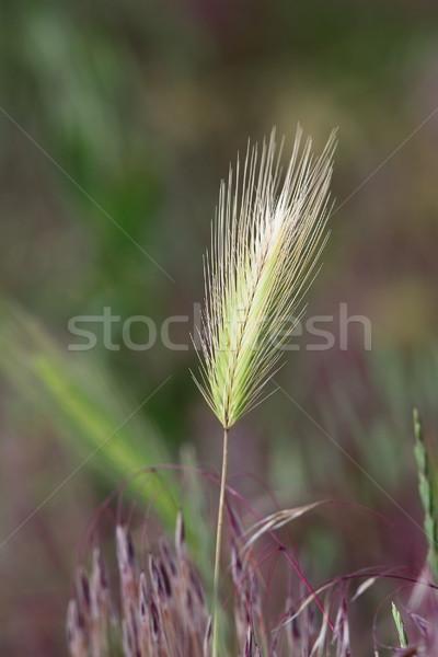 wild grass inflorescence Stock photo © taviphoto