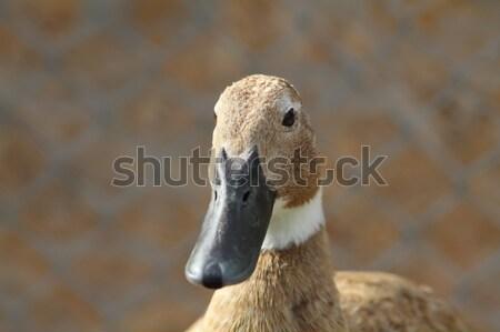 domestic duck portrait Stock photo © taviphoto