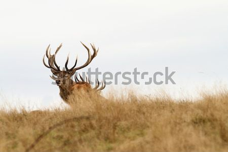 red deer stag in big grass Stock photo © taviphoto