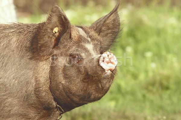 Portrait grand porc anneaux museau Photo stock © taviphoto