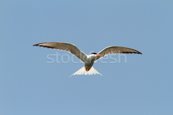common tern over blue sky Stock photo © taviphoto