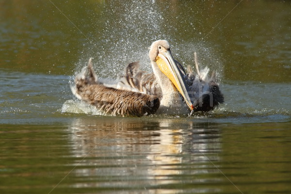 great pelican playing on lake Stock photo © taviphoto