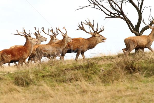 Kudde Rood heuvel bos landschap groene Stockfoto © taviphoto