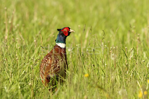 colorful pheasant rooster in big grass Stock photo © taviphoto