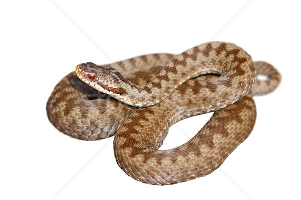 Geïsoleerd europese giftig slang isolatie witte Stockfoto © taviphoto