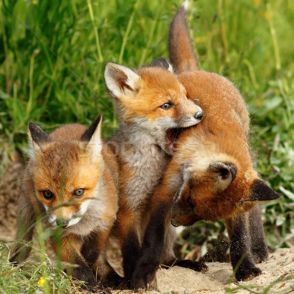 Stock photo: family of red foxes playing near the burrow