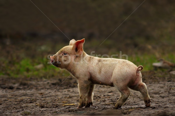 young pig near the farm Stock photo © taviphoto