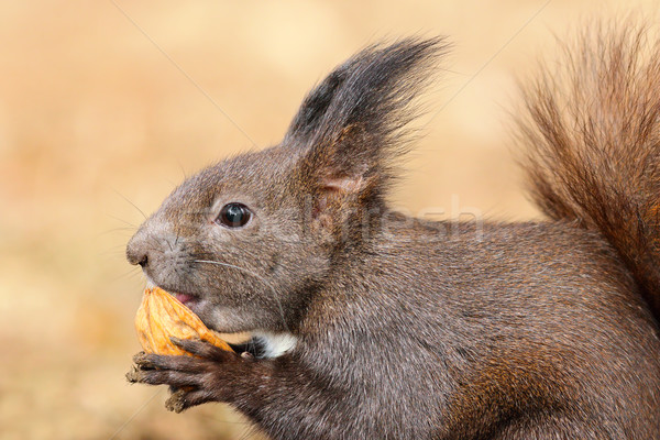 cute red squirrel eating nut Stock photo © taviphoto