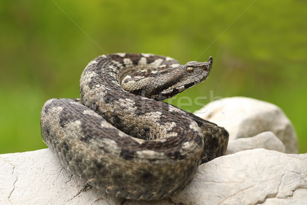 beautiful nosed viper on a rock Stock photo © taviphoto
