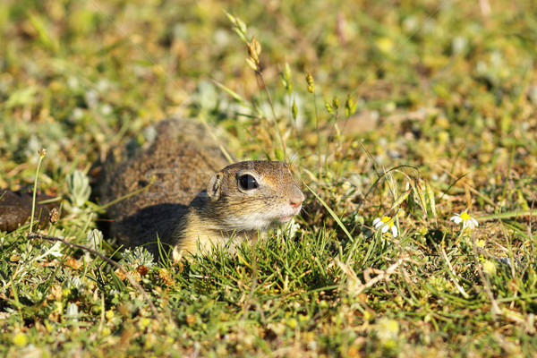 cute european ground squirrel in natural habitat Stock photo © taviphoto